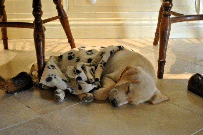 snuggle cosy relax Labrador puppy cute interior